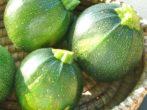 Цукини: разнообразие сортов и нюансы выращивания