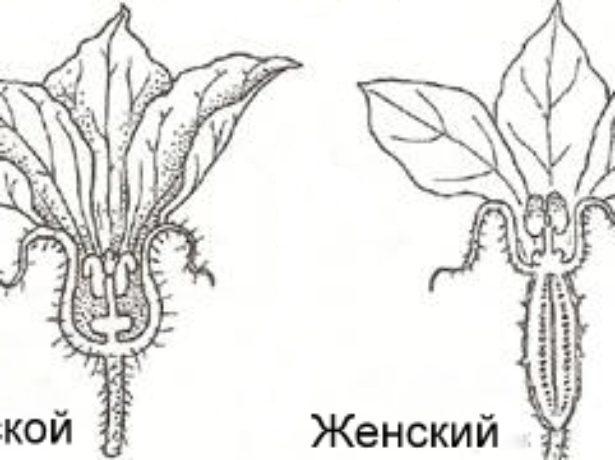 Мужской и женский цветки
