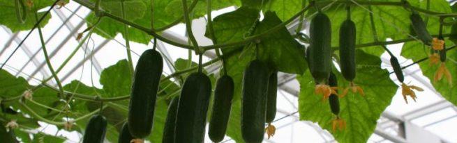 Партенокарпические огурцы: как получить отличный урожай без опыления