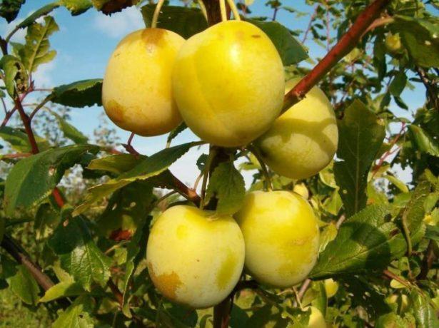 Плоды сорта Ренклод Лия