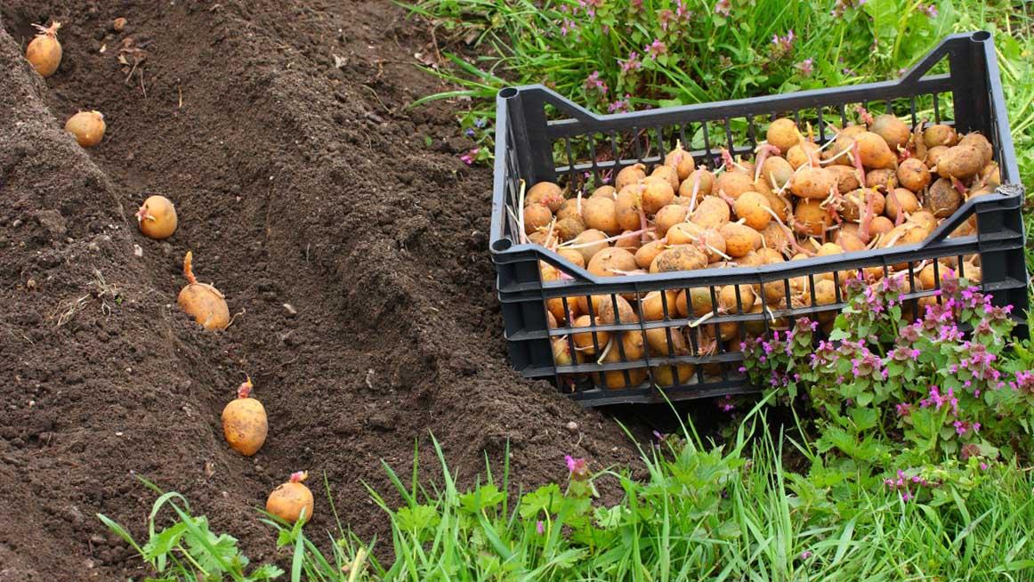 меристемные культуры кисловодск купить картофель