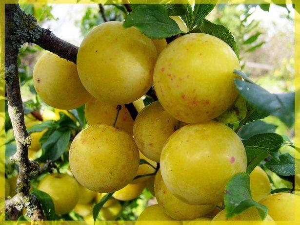 Плоды сливы Ренклод Колхозный