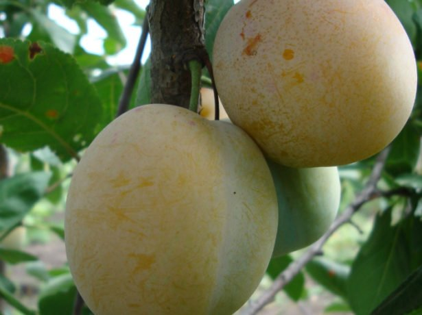 Плоды Ренклод Зелёный