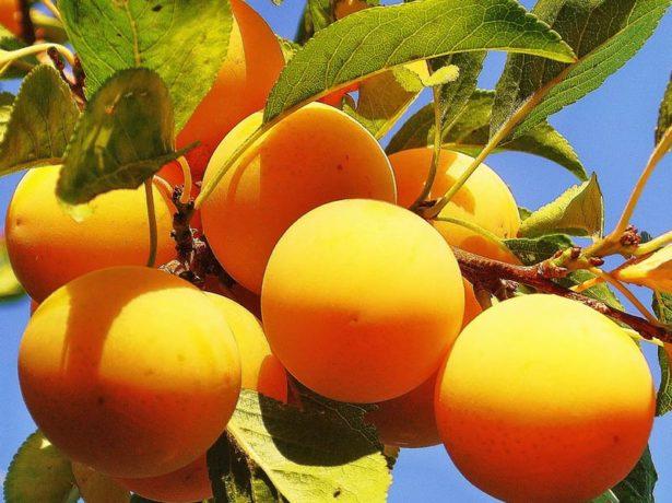Плоды Ренклод Жёлтый