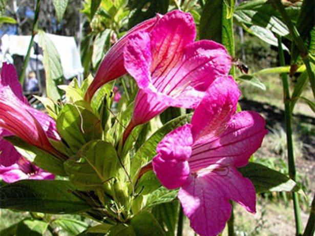 Руэллия крупноцветковая