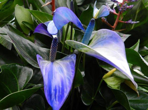 Синий антуриум