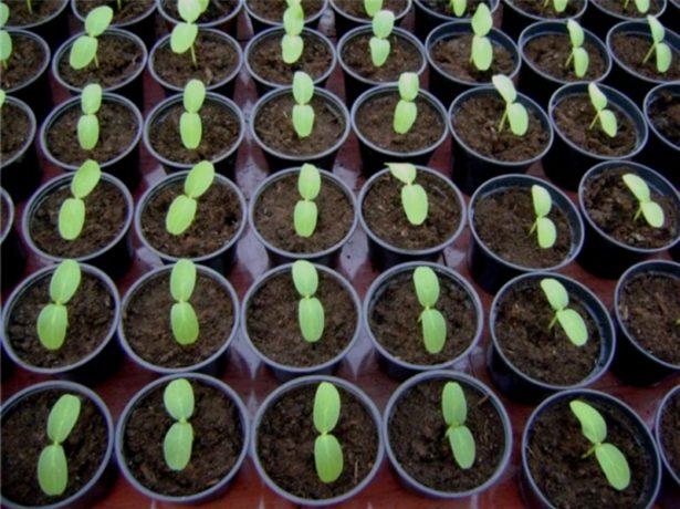 Первые всходы из семян кабачков
