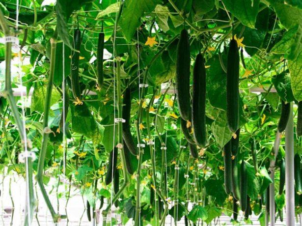 Урожай в теплице