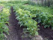 картофель в грунте