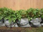 Мешок картошки - необычный способ выращивания, у которого есть свои преимущества