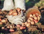 Предпосевная подготовка - здоровый картофель