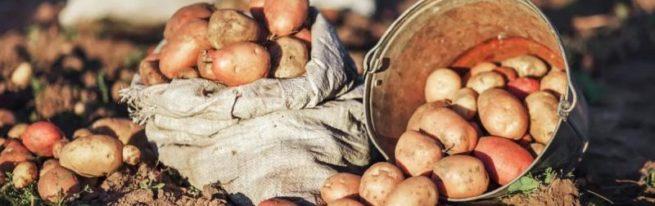 Предпосевная обработка картофеля— залог богатого урожая
