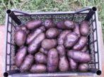 Картофель сорта Чугунка