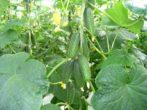 Самые урожайные сорта огурцов для открытого грунта