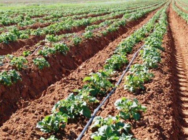 Голландский метод посадки картофеля