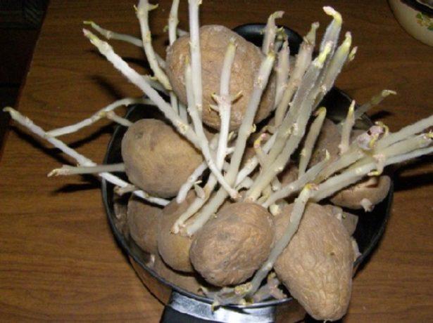 Картофель с длинными ростками