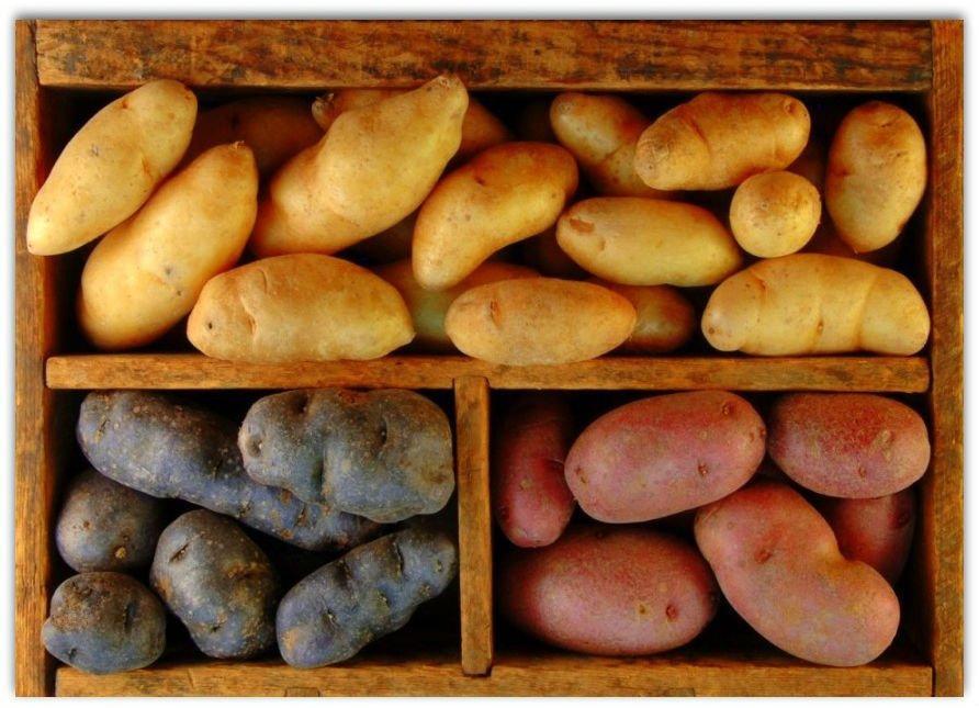 Самые вкусные сорта картофеля для сибири