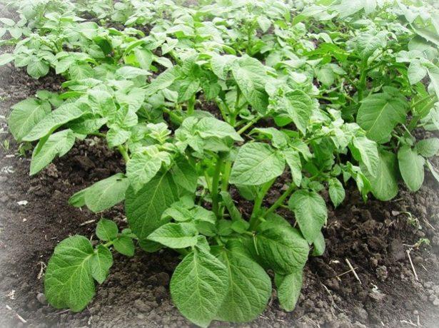 Маточный куст картофеля