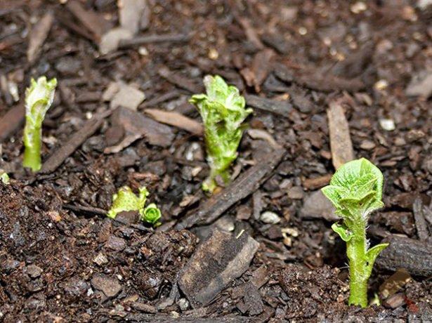 Молодые ростки картофеля