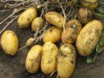 Картофель сорта Пензенская скороспелка