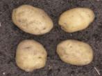 Картофель сорта Приекульский ранний