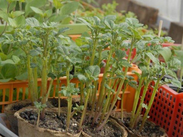 Рассада картофеля из семян