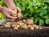 размножения картофеля,