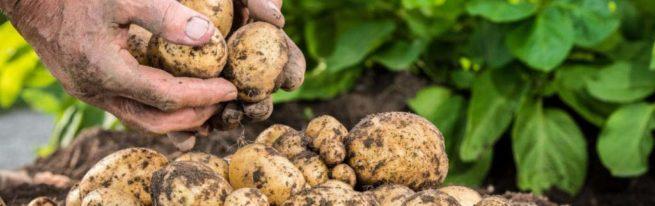 Способы интенсивного размножения картофеля, получение суперэлиты