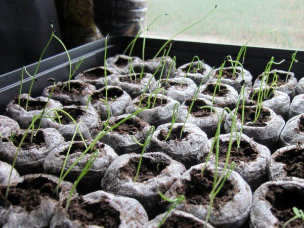 Торфяные таблетки с ростками лука
