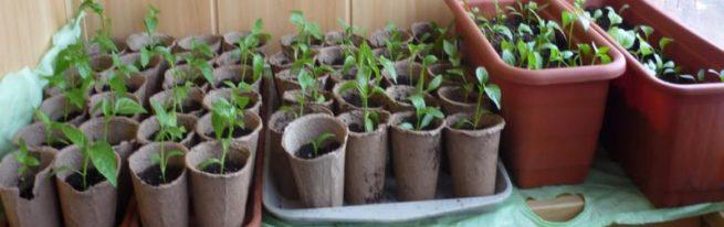 Рассада в торфяных стаканчиках — гарантия урожая