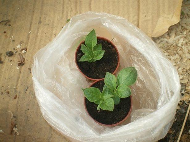 Укоренённые ростки картофеля