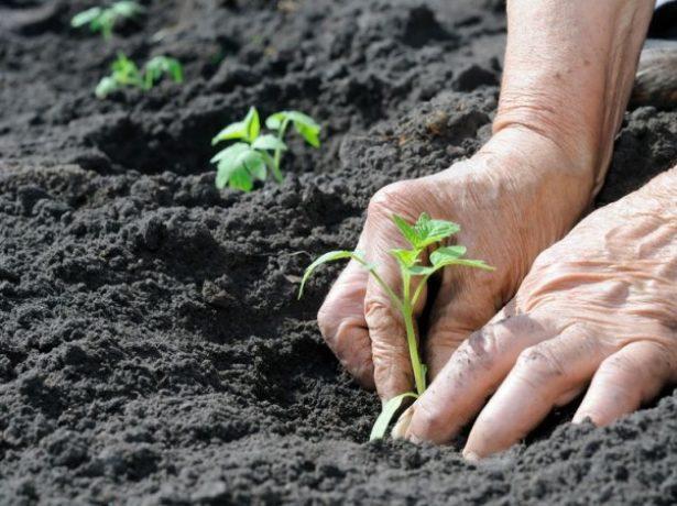 Высадка рассады картофеля