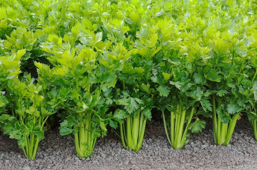 Выращивание сельдерея по инструкции - черешкового и листового