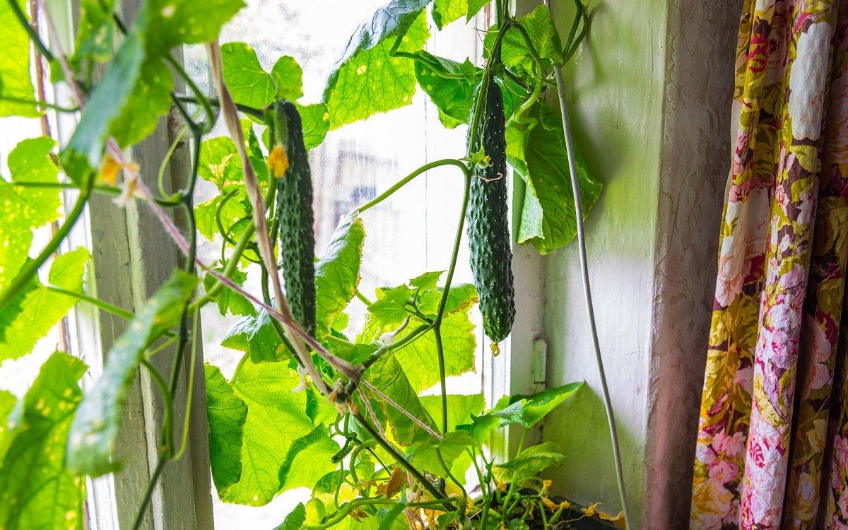Ароматные домашние огурчики – растим на подоконнике и на балконе