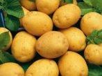 Сорт картофеля Адретта