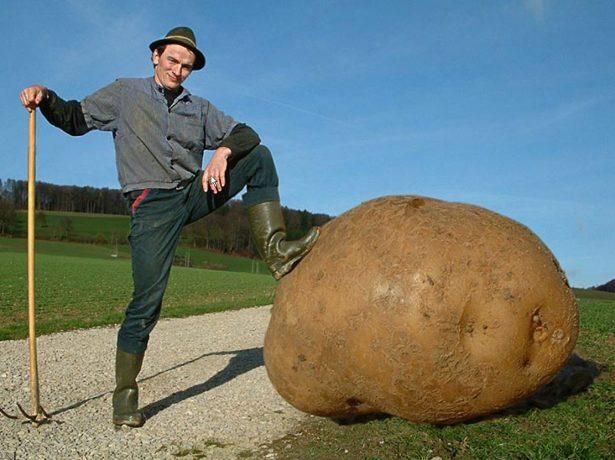 Картофель-гигант