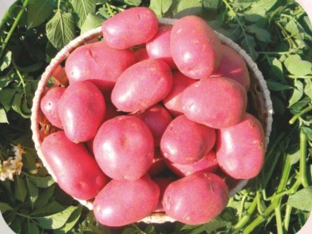 Сорт картофеля Лабелла