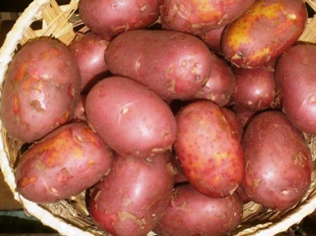 Сорт картофеля Ред Соня