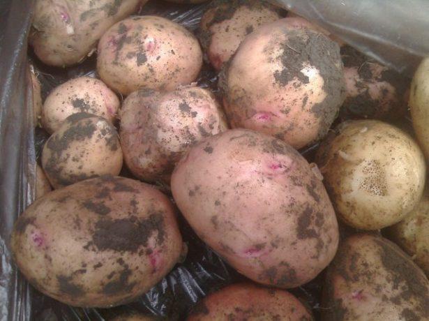 Картофель Сагитта
