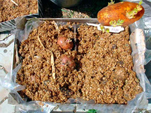 Проращивание картофеля во влажных опилках