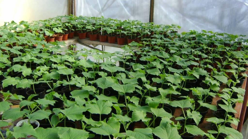 Выращивание огурцов зимой в теплице на 949