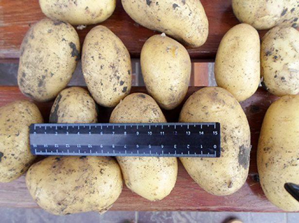 Сорт картофеля Коломбо (Коломба)
