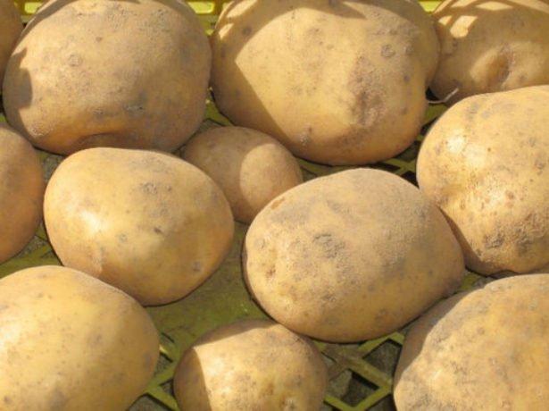 Сорт картофеля Тимо Ханккиян