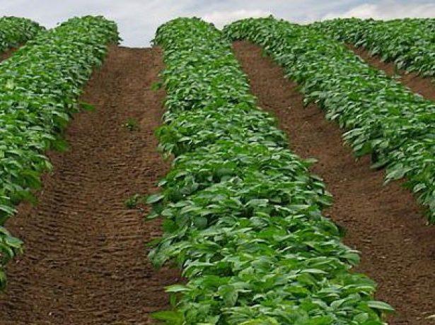 Картофель в открытом грунте
