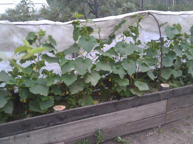 Выращивание огурцов для открытого грунта 84