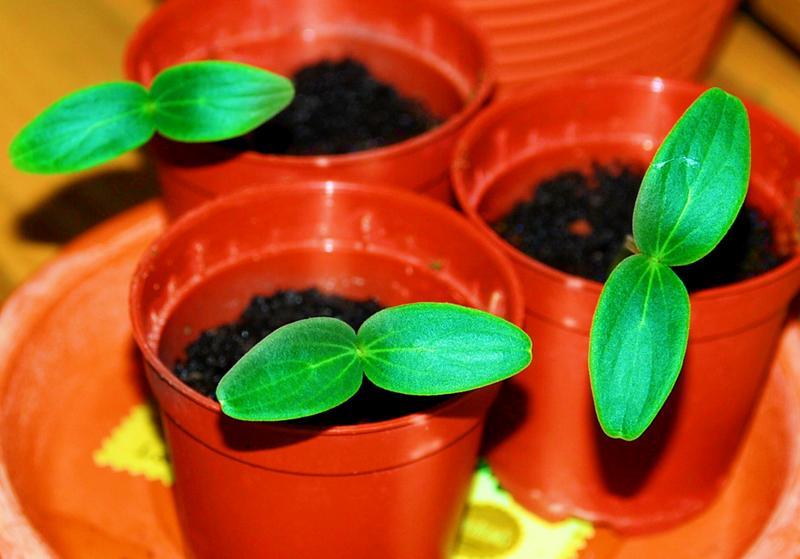 Как правильно вырастить огуречную рассаду в домашних условиях