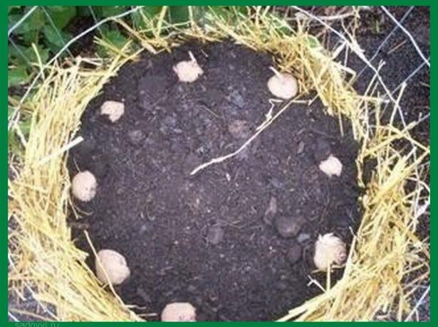 Выращивание картофеля горкой