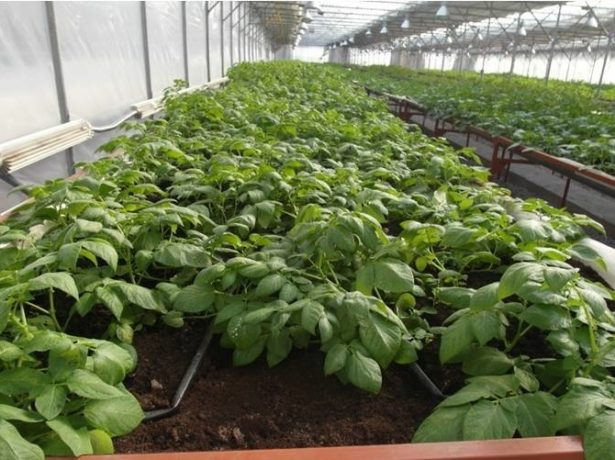 Выращивание картофеля в теплице