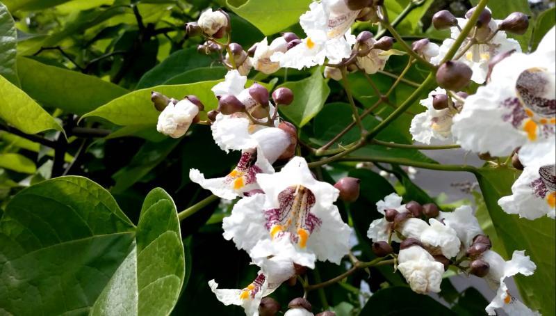 Великолепная катальпа: учимся выращивать южную красавицу