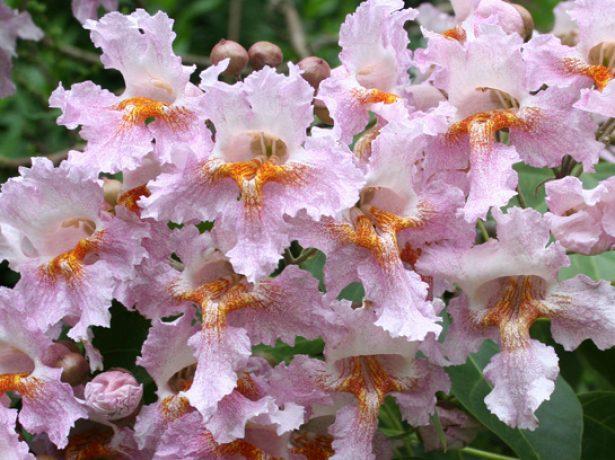 Цветы катальпы Фаргеза